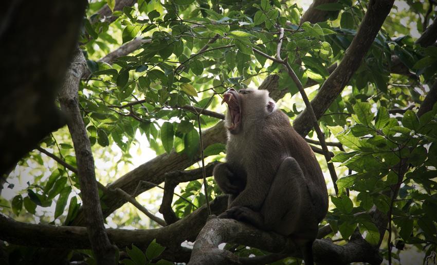 Phuket (ein müder Affe)