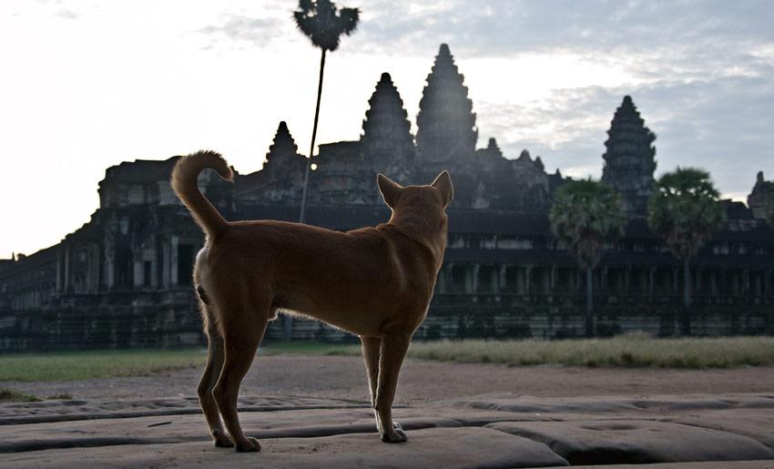 hund-angkor-wat