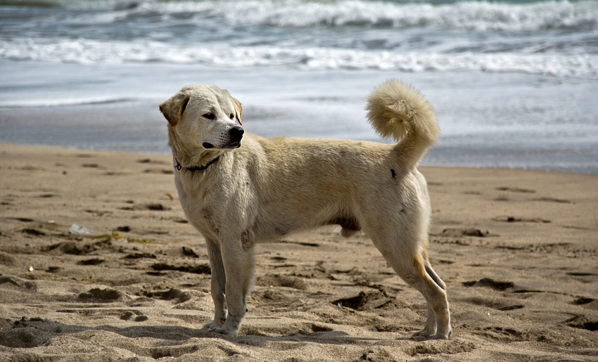 hund-bali