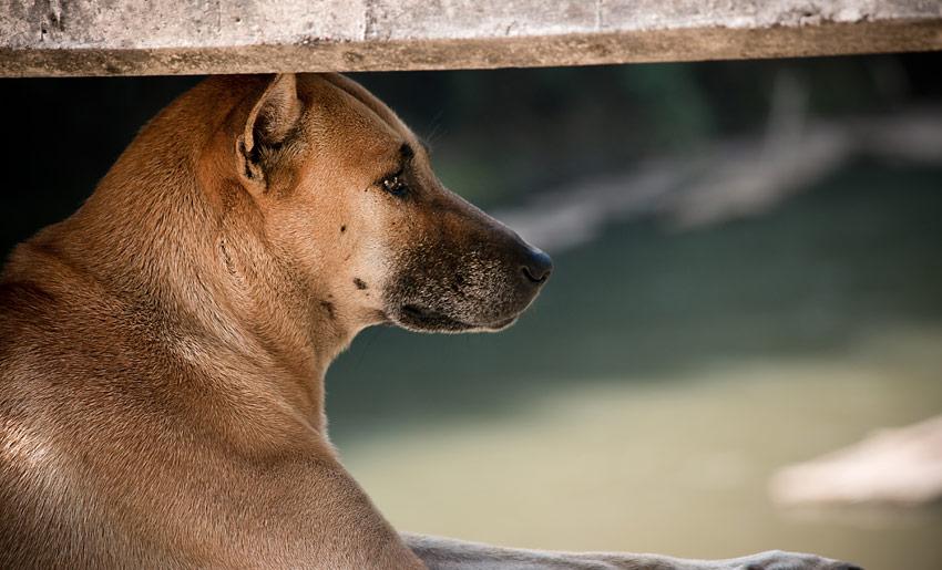 hund-chiangmai