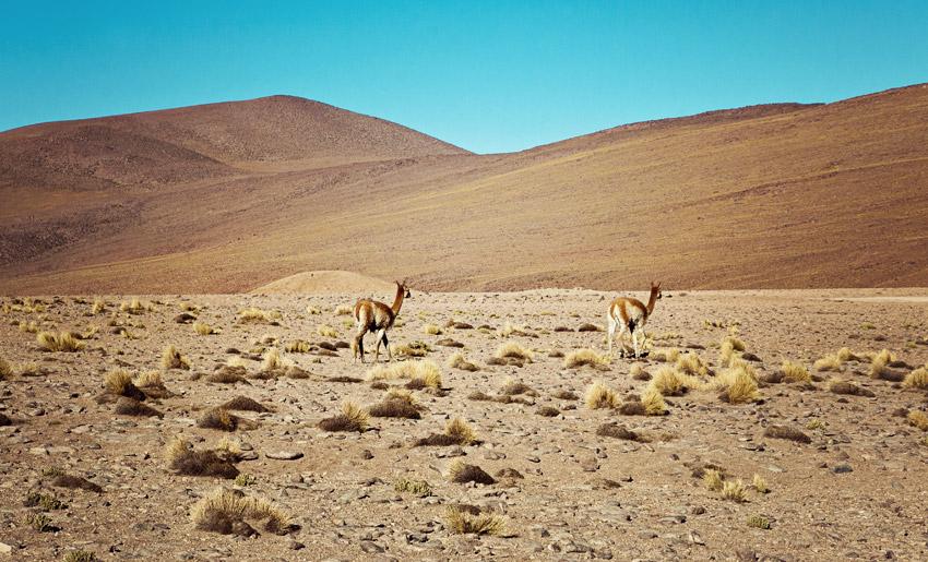 Vikunjas in der Atacamawüste
