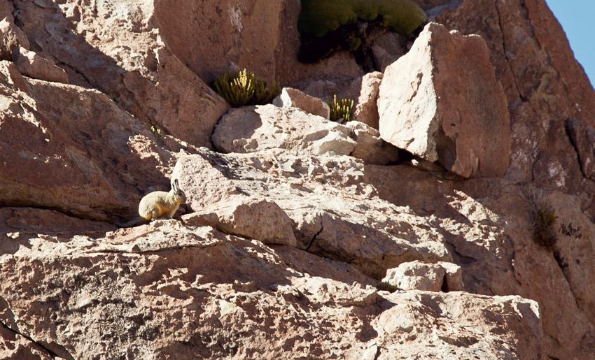 Viscacha in der Atacamawüste