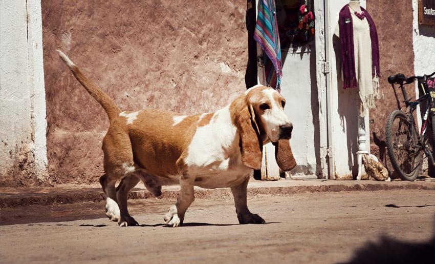 Hund in San Pedro de Atacama