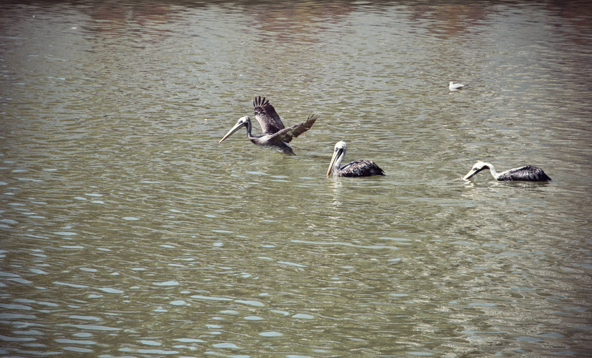 Pelikane in Viña del Mar
